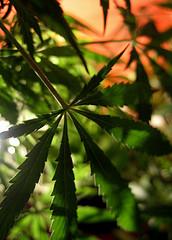 ¿Por qué la marihuana 'distorsiona' el tiempo?