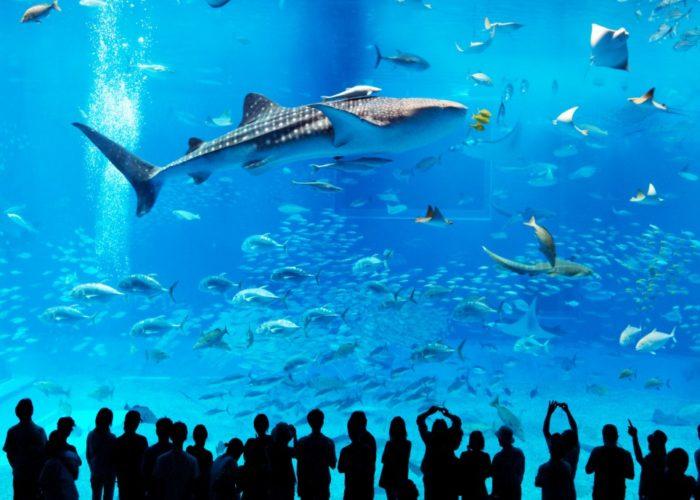 Nadando con un tiburón ballena