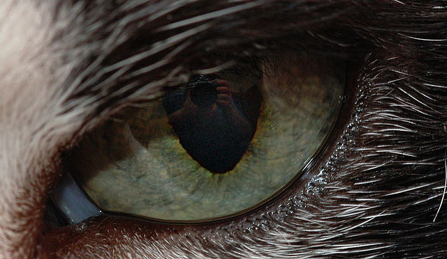 """¿Por qué los felinos tienen las pupilas """"rasgadas""""?"""