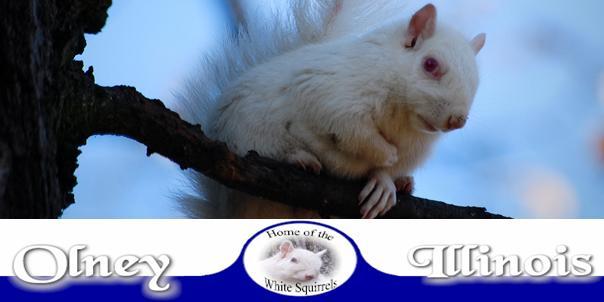 Las ardillas albinas de Olney