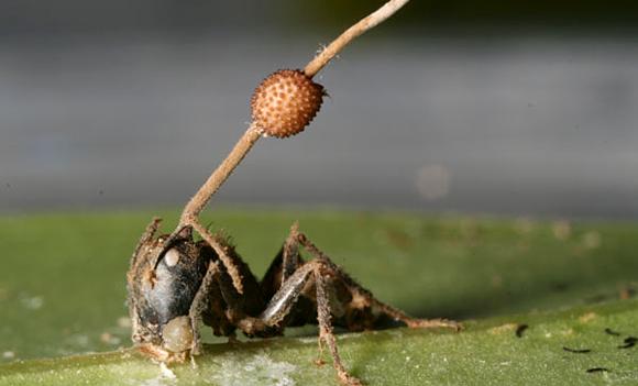 Los hongos de los golgari Hormiga2a