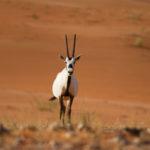 El unicornio… ¿un antílope del desierto quizás?
