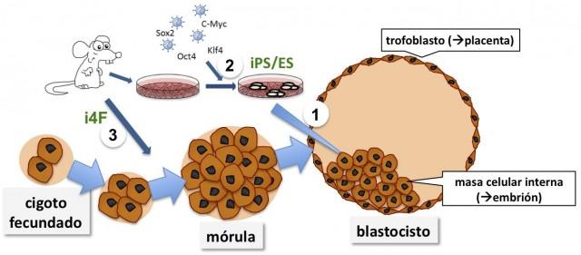 """En este esquema se muestra la evolución durante el desarrollo embrionario, desde las fases iniciales una vez fecundado el """"cigoto""""; pasando por la fase de """"mórula"""" compuesta por células totipotentes; y hasta la etapa en la que sucede la primera diferenciación celular, el """"blastocisto"""". En el blastocisto podemos ver células que forman la """"masa celular interna"""" y que serán capaces de desarrollarse en todas las células del embrión; y una capa de células que lo rodea y que se denomina """"trofoblasto"""", encargado de contribuir a la formación de la placenta. Las células extraídas de la masa celular interna y puestas en cultivo son las conocidas células madre embrionarias, ES (1). Las células somáticas obtenidas de un organismo adulto pueden ser devueltas al estado pluripotente mediante la introducción de los factores de reprogramación (Oct4, Sox2, Klf4 y c-Myc) (2). En este nuevo trabajo, se muestra cómo se pueden obtener células totipotentes a partir de un ratón transgénico que expresa los factores de reprogramación en vivo (3)."""