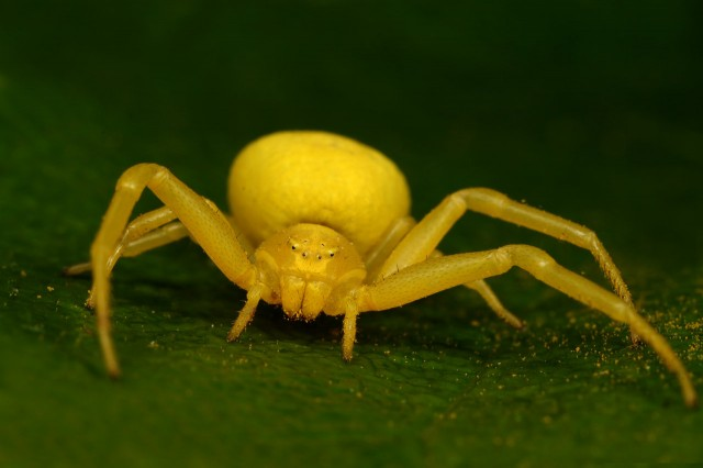 22. crab_spider_summer_2009_by_macrojunkie
