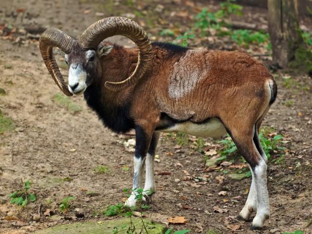 Un muflón. Así eran las primeras ovejas