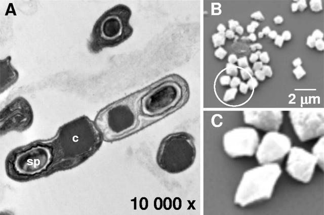 Micrografía electrónica de esporas de B. thuringiensis (a) y de proteinas Cry purificadas (b y  c). Fuente: Swiecicka et al. (2007). doi: 10.1128/AEM.01955-07