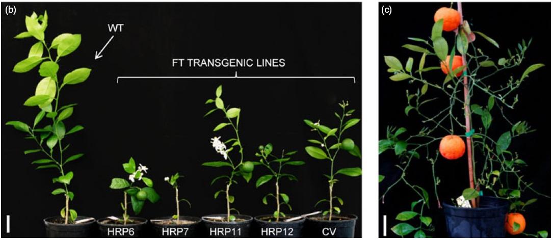 Izquierda: WT es la planta sin modificar y las demás (transgénicas) muestran el anticipo de la floración. Derecha: Nuevo color de las naranjas doradas [IMAGEN]