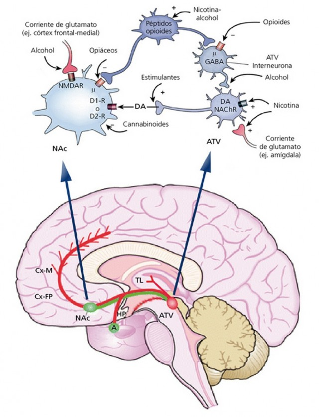 Representación de la vía dopaminérgica con el uso de diferentes drogas. Imagen obtenida de la Revista SEBBM