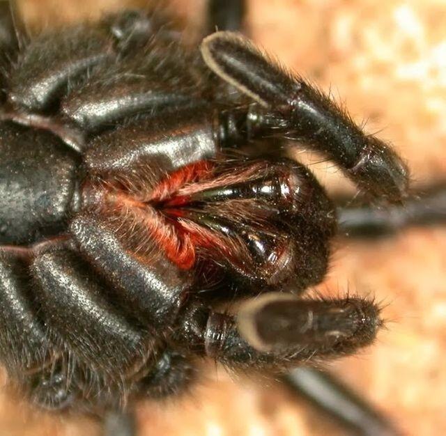 Vista posterior de los quelíceros de una araña. Fuente