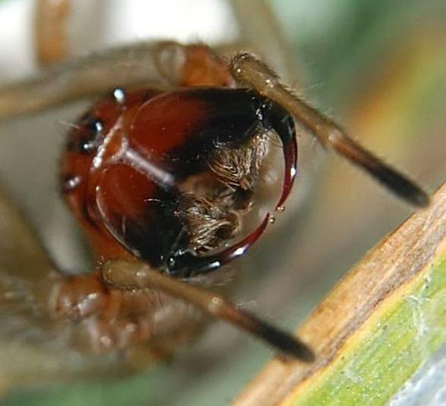 Disposición horizontal de los quelíceros en una araña araneomorfa. Fuente