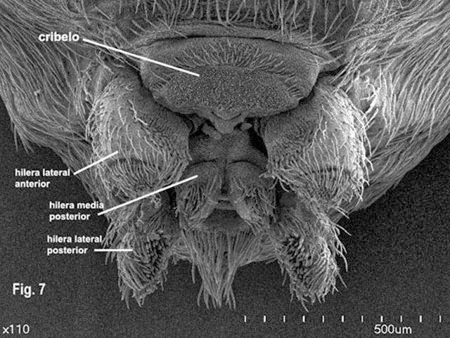 Detalle de las glándulas productoras de telaraña o hileras. Fuente