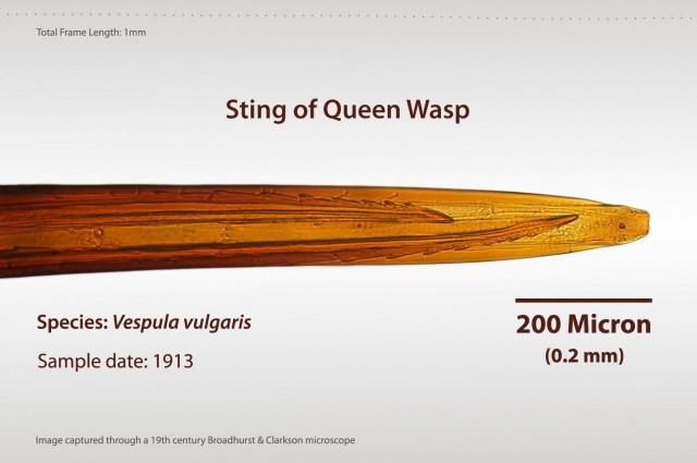 Detalle del aguijón de una avispa. Fuente