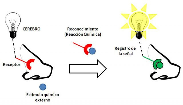 Representación esquemática del funcionamiento de los receptores olfativos