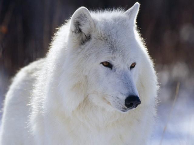 Fantasma, ¿un lobo bastardo? Fuente