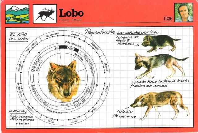 Lobezno, lobato, lobo. Fuente