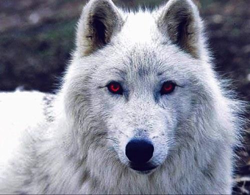Fantasma, el lobo albino. Fuente