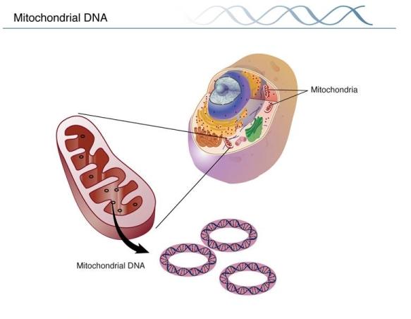 ADN mitocondrial. Fuente