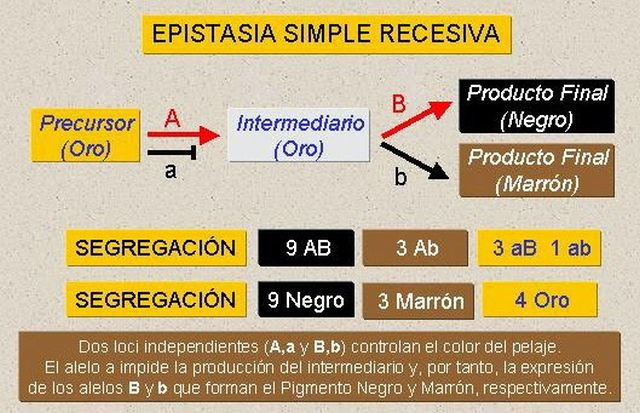 Epistasia simple recesiva. Fuente