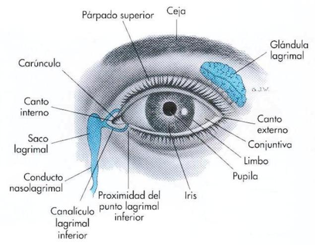 La ceja como parte de la anatomía externa del ojo. Fuente
