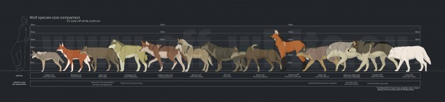Comparación de tamaños de distintas especies de lobos. Fuente