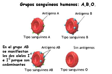 Codominancia en los grupos sanguíneos A y B. Fuente