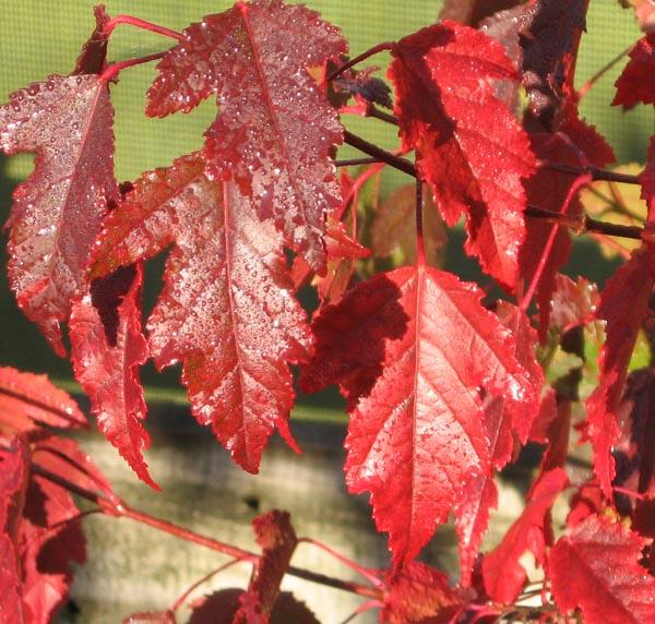 Acer ginnala con hojas de otoño. Fuente