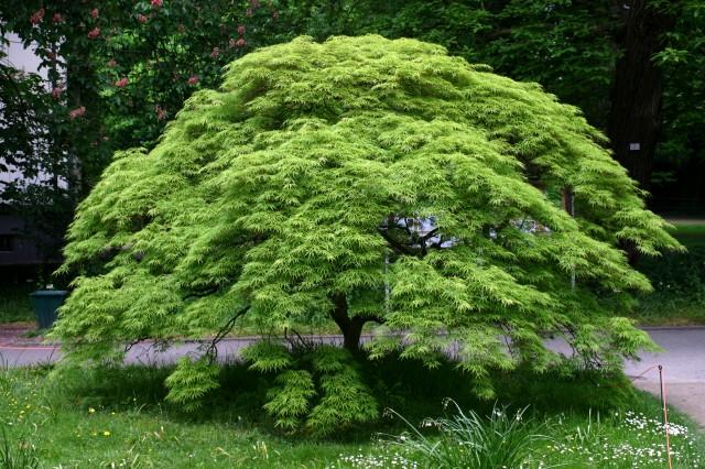 Acer palmatum con hojas verdes. Fuente