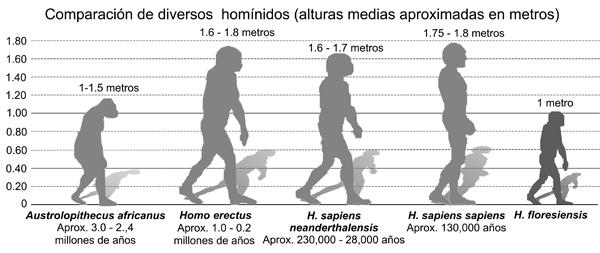 Altura de diversos homínidos. Fuente