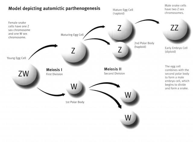 Partenogénesis automíctica. Fuente