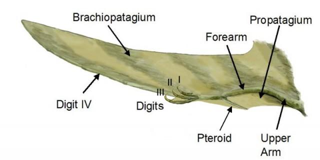 Ala de un pterosaurio. Fuente