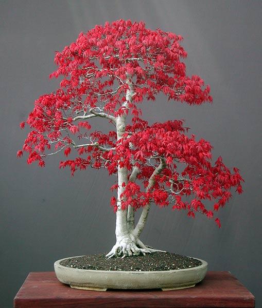 Bonsai de Acer palmatum. Fuente