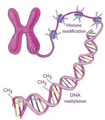 Modificaciones epigenéticas. Fuente