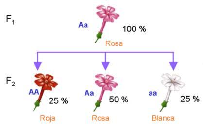 Segunda generación filial en flores de Mirabilis jalapa. Fuente