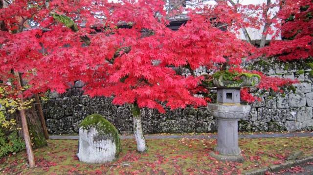Acer palmatum. Fuente