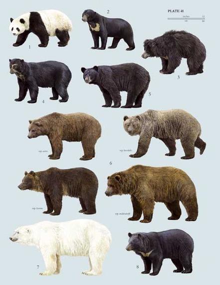 Diferencias de tamaños entre distintos tipos de osos. Fuente