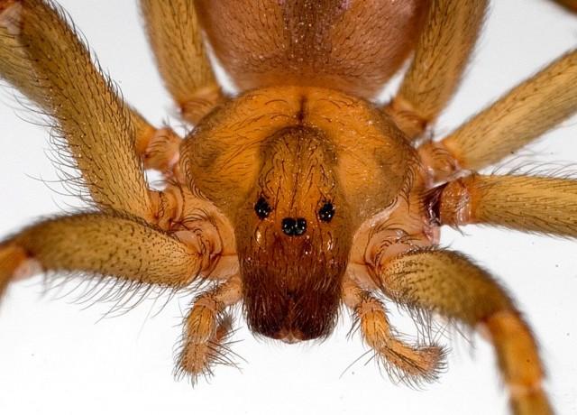 Detalle del cefalotórax de una araña del género Loxosceles