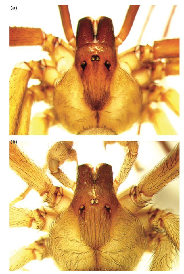 a) Forma del violín de L. reclusa. b) Forma del violín de L. Rufescens