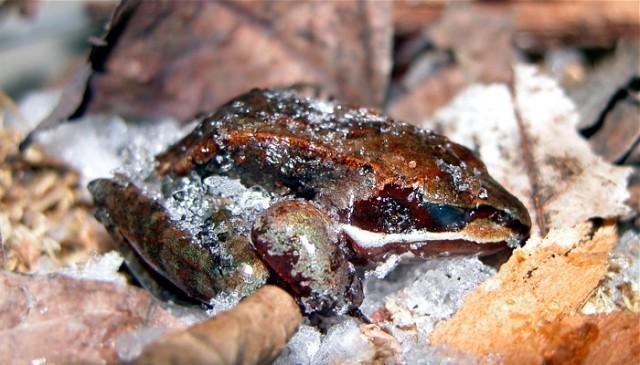 Lithobates sylvaticus congelada. Fuente