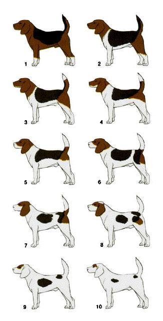 Fenotipos producidos por la expresividad variable de un gen en la raza beagle. Fuente