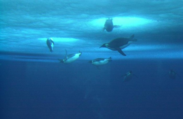 Pingüinos bajo el hielo. Fuente