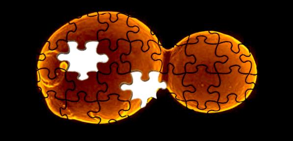 Logotipo del proyecto Sc 2.0, con las marcas de un puzzle superpuestas sobre la fotografía de una levadura en gemación [adaptado de Build-a-genome]