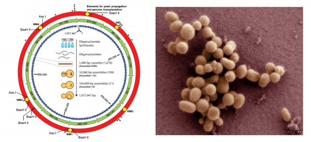 Representación esquemática de la estrategia seguida para ensamblar el genoma de Mycoplasma mycoides, y fotografía de microscopía electrónica de barrido de células de M. mycoides JCVI-syn1.0 [adaptadas del JCVI]