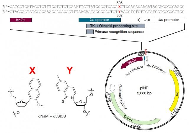 Estructura de los nucleótidos sintéticos que incluyen las bases nucleotídicas X e Y, y representación esquemática del plásmido en el que se ha insertado el par X-Y  [adaptado de la referencia original]