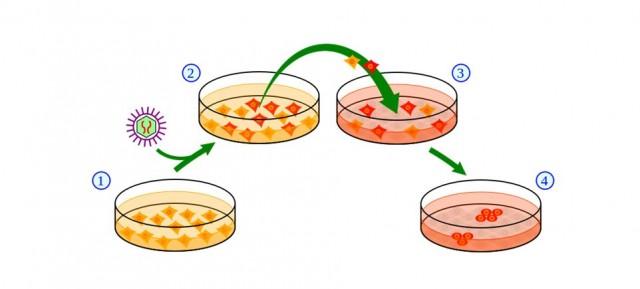 Esquema de la inducción génica mediada por virus. Transformación de células de la piel (1) a células madre (4).