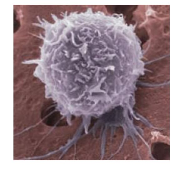 Célula madre adulta. Fotografía a Microscopio Electrónico