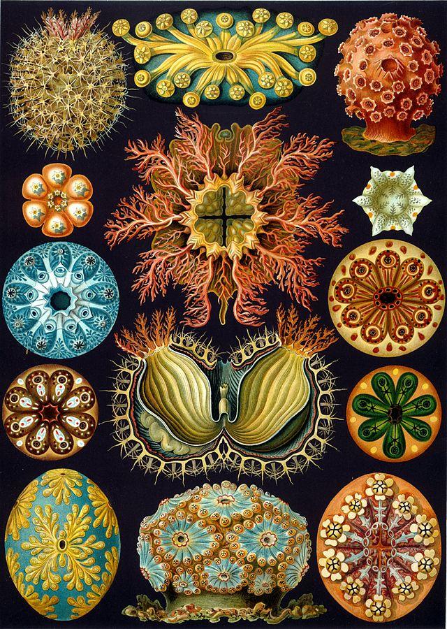 640px-Haeckel_Ascidiae