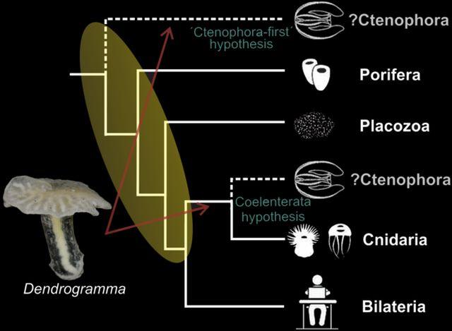 Posible árbol filogenético para  Dendrogramma
