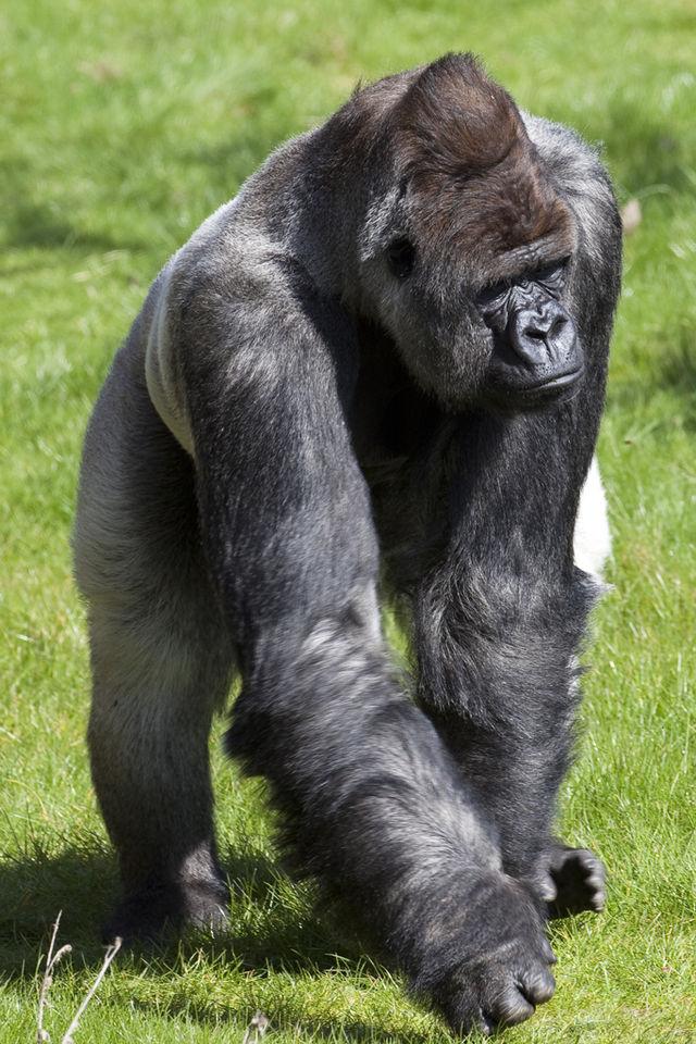 El gorila Bokito