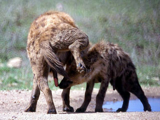 Pseudopene de una hiena hembra. Nótese la cicatriz producida tras su primer parto. Fuente