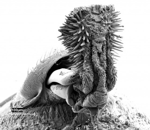 Pene de Acanthoscelides obtectus. Fuente